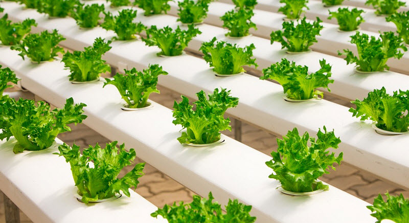 lettuce in Static solution culture